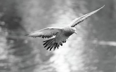 Photograph - Landing Pigeon In The Park R by Jacek Wojnarowski