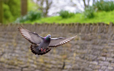 Photograph - Landing Pigeon In The Park W by Jacek Wojnarowski