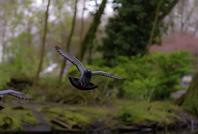 Photograph - Landing Pigeon In The Park X by Jacek Wojnarowski