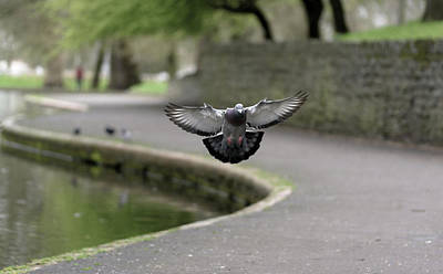 Photograph - Landing Pigeon In The Park Y by Jacek Wojnarowski