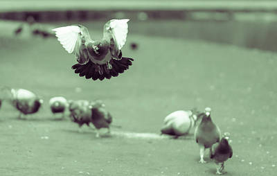 Photograph - Landing Pigeon In The Park Z by Jacek Wojnarowski