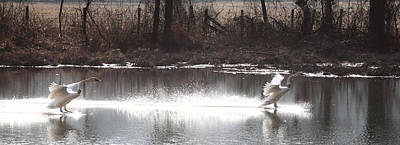 Photograph - Landing Trumpeter Swans by Michael Dougherty