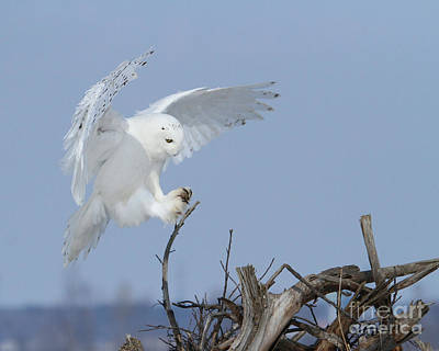 Photograph - Landing With Royal Precision by Heather King
