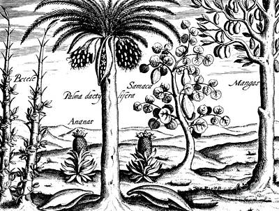 Mango Drawing - Landscape, Illustration From India Orientalis, 1598  by Theodore de Bry