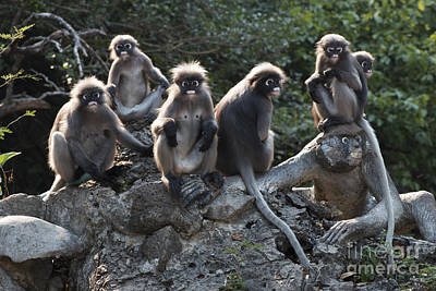 Photograph - Langur Monkeys Of Ao Manao Bay by Nola Lee Kelsey