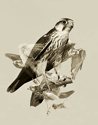 Lanner Falcon Collage Original