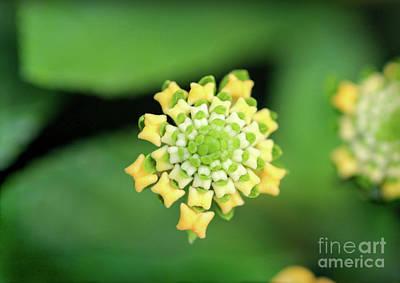 Photograph - Lantana Beauty by Karen Adams
