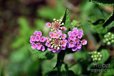 Photograph - Lantana Camara Flower by George Atsametakis