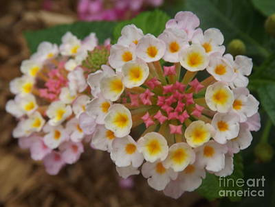 Photograph - Lantana Double by Lingfai Leung