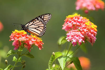 Swallowtail Photograph - Lantana Flowers And A Butterfly by Jill Lang