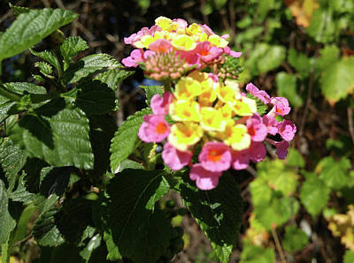 Photograph - Lantana by Richard De Wolfe