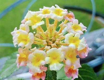 Photograph - Lantana Sunshine by Rachel Hannah
