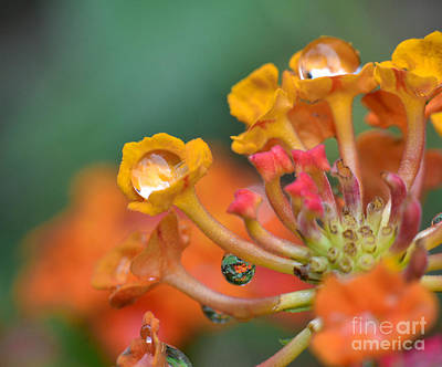 Photograph - Lantana With Raindrops by Amy Porter