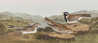 Wildlife Landscape Painting - Lapland Long Spur by John James Audubon