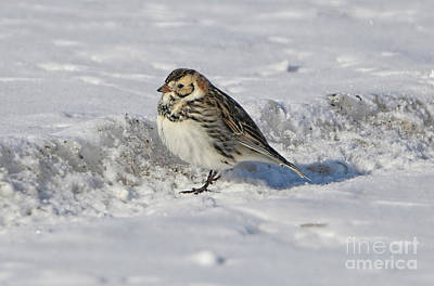 Photograph - Lapland Longspur by Elizabeth Winter