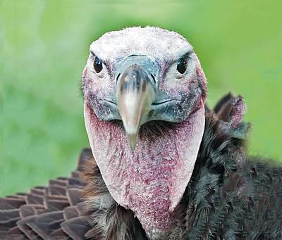 Photograph - Lappet Faced Vulture Portrait by William Bitman