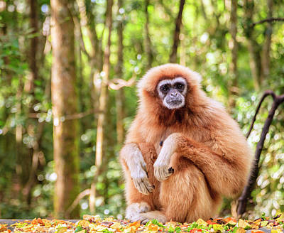 Photograph - Lar Gibbon by Alexey Stiop