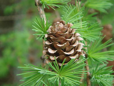 Photograph - Larch Cone by Yvonne Johnstone