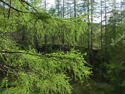 Photograph - Larch Trees In Spring by Phil Banks