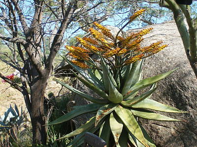 Photograph - Large Aloe In Bloom by Jim Taylor