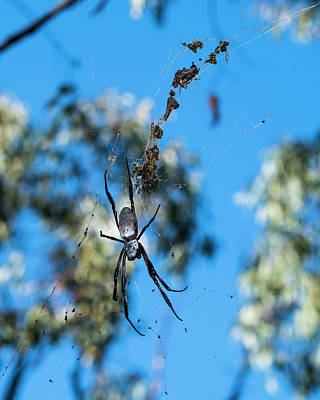Photograph - Large Australian Spider by Steven Ralser