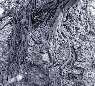 Photograph - Large Banyan Tree Clings To A Rock by Yali Shi
