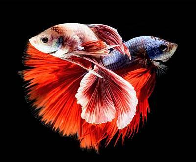 Photograph - Large Betta Fish Art by Sheila Mcdonald