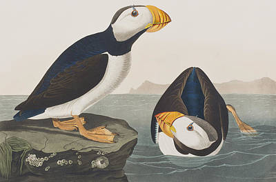 Puffin Wall Art - Painting - Large Billed Puffin by John James Audubon