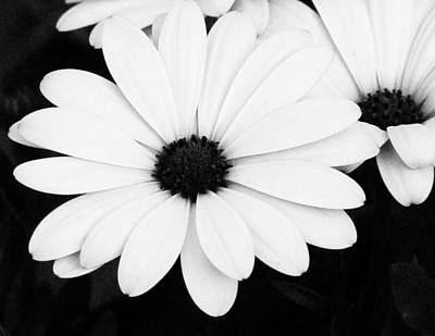 Photograph - Large Black And White Daisies by Tony Grider