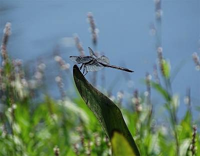 Photograph - Large Black Dragonfly by Lilia D