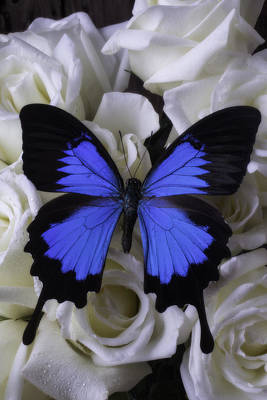 Butterfly Blossom Photograph - Large Blue Butterfly On White Roses by Garry Gay