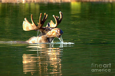 Photograph - Large Bull Moose Drool by Adam Jewell