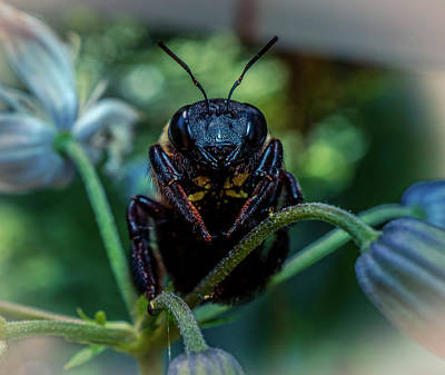 Photograph - Large Bumble Bee by Lilia D