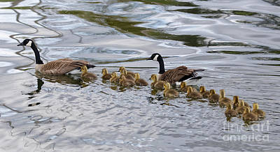 Photograph - Large Canada Goose Family by Sue Harper