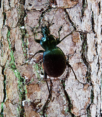 Photograph - Large Carabid Crawling On Tree by Douglas Barnett