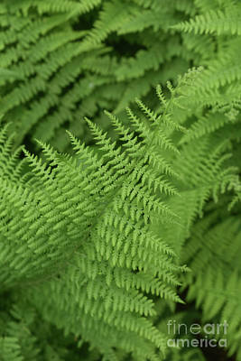 Photograph - Large Cluster Of Wild Green Ferns In A Nature Garden by DejaVu Designs