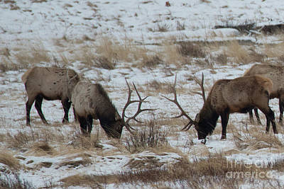 Photograph - Large Elk by Loriannah Hespe