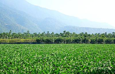 Photograph - Large Field With Taro Plants by Yali Shi