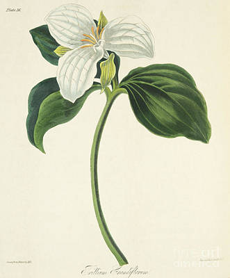 Still Life Drawing - Large Flowered Trillium by Margaret Roscoe