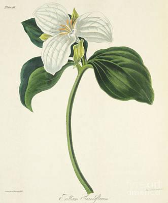 Large Flowered Trillium Art Print