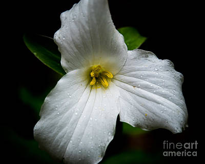 Photograph - Large-flowered Trillium by Ronald Grogan