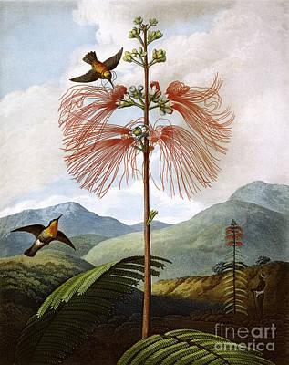 Tendrils Drawing - Large Flowering Sensitive Plant by Stadler after Philip Reinagle