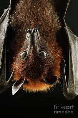 Photograph - Large Flying Fox Roosting by Chien Lee
