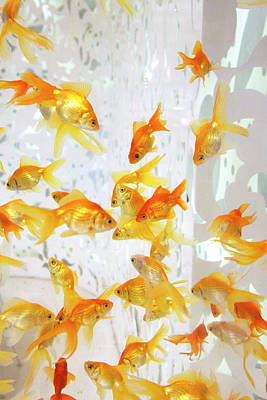 Photograph - Large Goldfish Tank by Marilyn Hunt