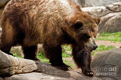Photograph - Large Grizzly Bear by Jill Lang