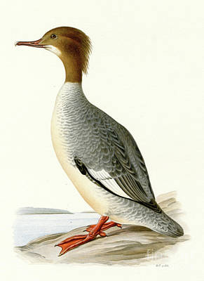 Ducks Painting - Large Merganser by Swedish School