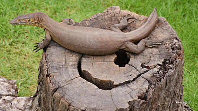 Photograph - Large Monitor Lizard 2 by Gary Crockett