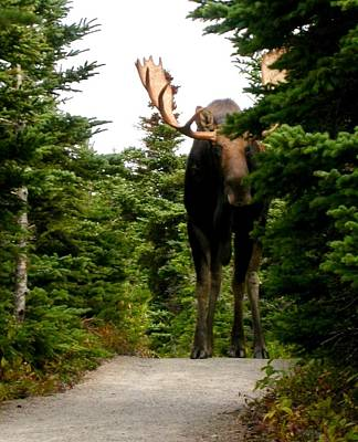 Photograph - Large Moose by Brian Chase
