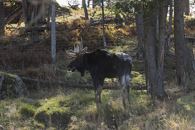 Photograph - Large Moose In The Woods by Josef Pittner