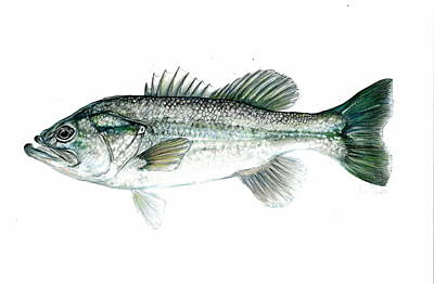 Large Mouth Bass Art Print by Jim  Romeo